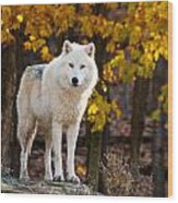 Arctic Wolf Pictures 709 Wood Print