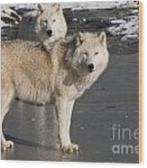 Arctic Wolf Pictures 812 Wood Print