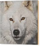 Arctic Wolf Pictures 814 Wood Print