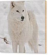 Arctic Wolf Pictures 844 Wood Print