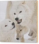 Arctic Wolf Pictures 872 Wood Print