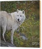 Arctic Wolf Pictures 922 Wood Print