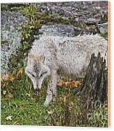Arctic Wolf Pictures 927 Wood Print