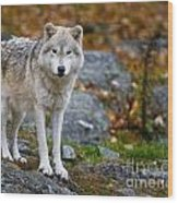 Arctic Wolf Pictures 942 Wood Print