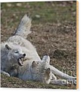 Arctic Wolf Pictures 996 Wood Print