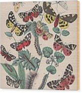 Arctlidae Wood Print