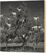 Argan Loving Goats Wood Print