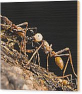 Army Ant Carrying Cricket La Selva Wood Print