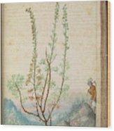 Artemisia Abrotanum Wood Print