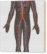 Arteries And Veins Of The Human Body Wood Print