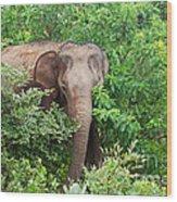 Asian Elephant  Elephas Maximus Wood Print
