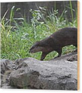 Asian Small Clawed Otter - National Zoo - 01135 Wood Print