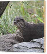 Asian Small Clawed Otter - National Zoo - 01137 Wood Print