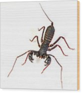 Asian Whipscorpion Wood Print