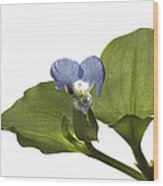 Asiatic Day Flower Wood Print