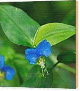 Asiatic Dayflower Wood Print