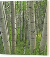 Aspen Forest In Spring Wood Print