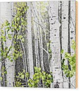 Aspen Grove Wood Print by Elena Elisseeva