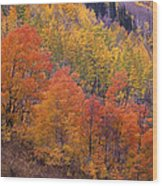 Aspen Grove In Fall Colors Wood Print