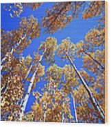 Aspen Tree Tops Wood Print