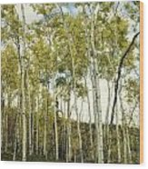 Aspen Trees In Spring  Wood Print