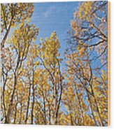 Aspen Trees In The Fall Wood Print