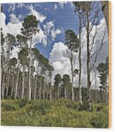 Aspen Grove Wood Print