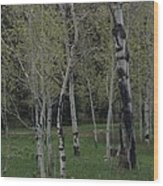 Aspens In The Spring Wood Print by Shawn Hughes