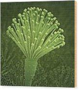 Aspergillus Fungus, Artwork Wood Print by Science Photo Library