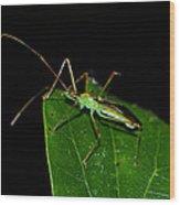 Assassin Beetle 003 Wood Print