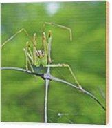 Assassin Bug Nymph - Reduviidae Wood Print