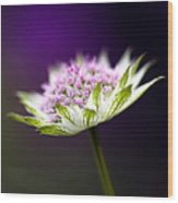 Astrantia Buckland Flower Wood Print by Tim Gainey