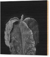Astrophytum Cactus Wood Print