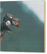 Atlantic Puffin, Fratercula Arctica Wood Print