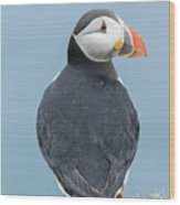 Atlantic Puffin, Mykines, Faroe Wood Print