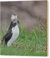 Atlantic Puffin With Sandeels Wood Print