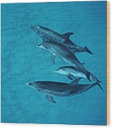 Atlantic Spotted Dolphin Adults Wood Print