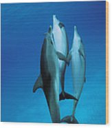 Atlantic Spotted Dolphin Juveniles Wood Print