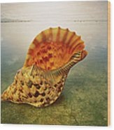 Atlantic Trumpet Triton Shell Wood Print