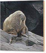 Atlantic Walrus Bull On Rocky Shore Wood Print