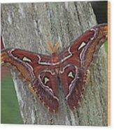 Atlas Moth Portrait Asia Wood Print