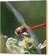 August Dragonfly  Wood Print