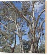 Australian Native Tree 12 Wood Print