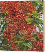 Australian Poinciana Tree Wood Print