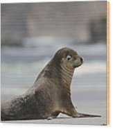 Australian Sea Lion On Beach Kangaroo Wood Print
