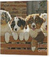 Australian Sheepdog Puppies Wood Print