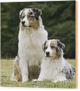Australian Shepherd Dogs Wood Print