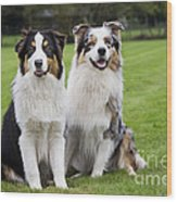 Australian Shepherds Wood Print