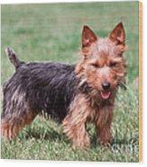 Australian Terrier Dog Wood Print