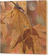 Autumn Acer Wood Print